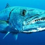 BARRACUDA Les Moments de solitudes du chasseurs sous marin